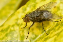 Roodwangbromvlieg - Calliphora vicina (henk.wallays) Tags: aaaa location europa belgium tuinbellem oostvlaanderen vlaanderen bellem