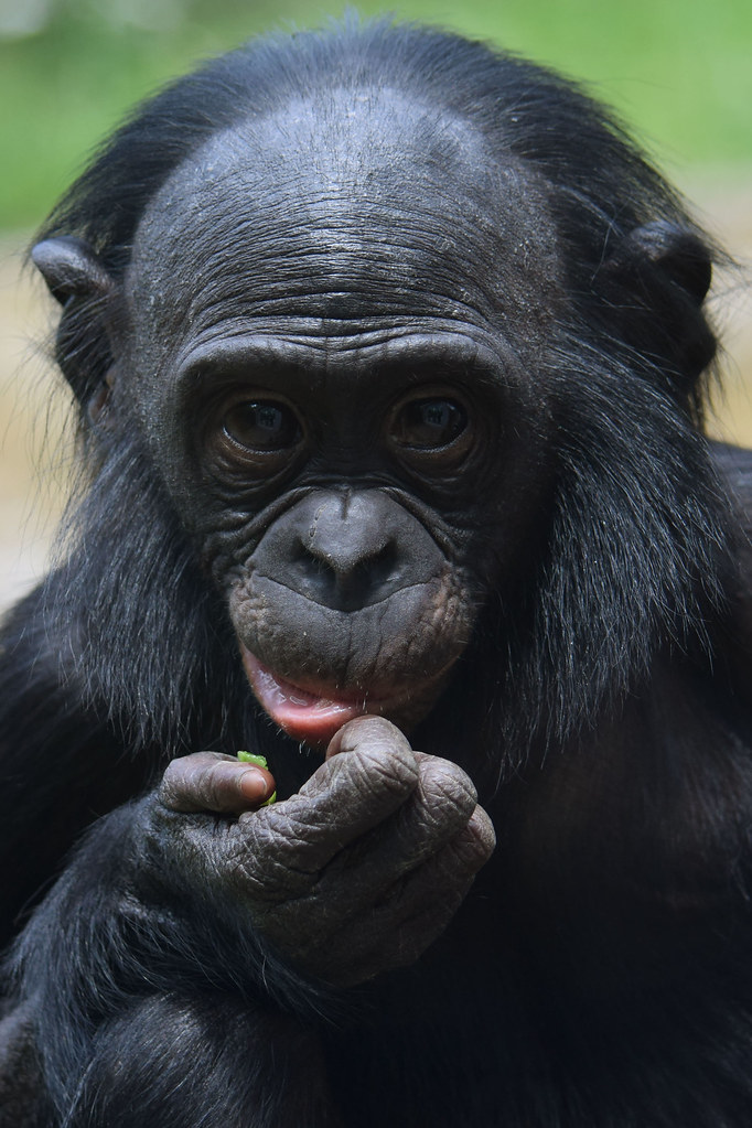 the world's best photos of bonobo and dier - flickr hive mind
