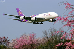 (straightfinder) Tags: a380 fujifilms5pro thaiairways airbus pink flowers s5pro airbusa380 purple airliner airline airplane aircraft sakura thai