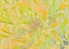 Grasses (Helen Orozco) Tags: sliderssunday hss grasses photoshop