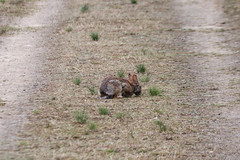 Wild hare eating some grass (greyloch) Tags: animal hare 2019 canonrebelt6s niksoftware