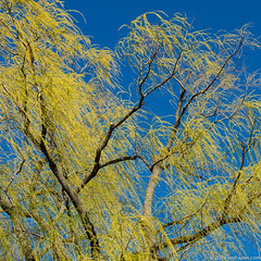 Spring Willow (Jim Frazier) Tags: abstract 2019 20190327cantignyphasetwoiscoming 20190420cantigny 2019cantigny april beautiful beauty biota bluesky botanic botanicgarden botanicalgarden botanicalgardens branches cantigny cantignypark cantignyvolunteer closelycropped detail dupage dupagecounty flora flowers garden gardens graceful green horticulture il illinois jimfraziercom leaf leafingout leaves life living museum nature octagongarden outline park parks plants preserve publicgarden q4 ruleofthirds skeleton spring square study sunny texture trees tripod weepingwillows wheaton willows natural jfpblog instagram