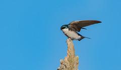 Hirondelle bicolore // Tree Swallow (Alexandre Légaré) Tags: hirondelle bicolore tree swallow tachycineta bicolor oiseau bird animal wildlife nature nikon nikond7500 d7500 marais swamp sherbrooke stfrancois realdcarbonneau