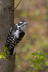 Downy Male (ayres_leigh) Tags: downy woodpecker pecker highpark ontario toronto bird nature wildlife animal canon red tree