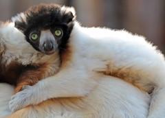 crowned sifaka Apenheul 094A0690 (j.a.kok) Tags: lemur sifaka kroonsifaka crownedsifaka animal africa afrika aap halfaap mammal monkey motherandchild moederenkind madagascar zoogdier dier apenheul