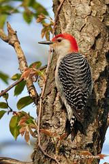 Treeside Woodpecker (mjcarsonphoto) Tags: sheldonmarsh huron wildlife bird redbelliedwoodpecker
