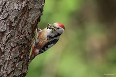 Den Schnabel voll Futter.... (wernerlohmanns) Tags: wildlife natur outdoor sigma150600c schärfentiefe vögel spechte mittelspecht deutschland naturpark nabu nsg nikond750 d750