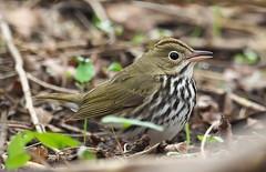 Ovenbird (Seiurus aurocapilla) (Gavin Edmondstone) Tags: seiurusaurocapilla ovenbird warbler bird oakville ontario