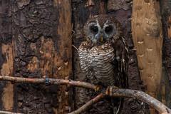 Camouflage (jonathan.scaife81) Tags: scottish owl centre wood rainforest tropical bird prey whitburn bathgate lothian scotland brown beak camo camouflage perch canon 6d tamron 28300 tamron28300