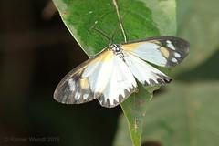 IMG_4816 Cartaletis gracilis ♂ (Raiwen) Tags: cartaletisgracilis cartaletis oenochrominae geometridae lepidoptera moth moyenneguinée foutadjalon guinea westafrica africa lowlandrainforest forest
