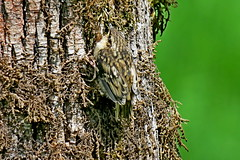 Brown Creeper, Snoqualmie Valley, WA 5/12/19 (LJHankandKaren) Tags: creeper browncreeper stillwater snoqualmievalley