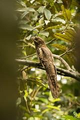 Nyctibius aethereus (Orkitox) Tags: nyctibius aethereus nictibio longtailed potoo yasuní ecuador bird
