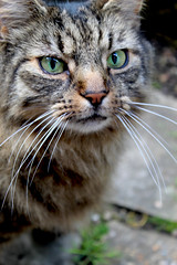 Cat II (The Sequel) (Lysualise) Tags: cat kitty longhaired animals animal amateur canon garden gorgeous beautiful adorable lovely smoosh