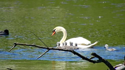 AP0402.DSCN0397.04 oiseau aquatique 03 (cygne famille cygneau-petit lac) Neuville