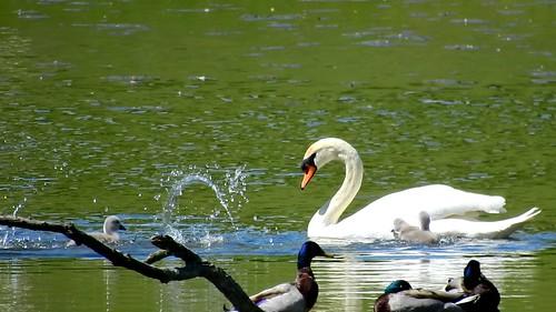 AP0402.DSCN0397.01 oiseau aquatique 03 (cygne famille cygneau-petit lac) Neuville