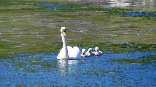 AP0402.DSCN0395.10 oiseau aquatique 02 (cygne couple famille cygneau-petit lac) Neuville