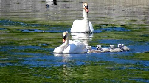 AP0402.DSCN0395.04 oiseau aquatique 02 (cygne couple famille cygneau-petit lac) Neuville
