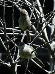 Bushtits, Inglewood, Ca. (stonebird) Tags: bushtit psaltriparusminimus inglewood ca img9613