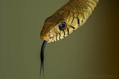 Indian Rat Snake. (Vikas.B.Chavan) Tags: indianratsnake ptyasmucosa nikond7200 afsnikkor300mmf4difed nikonsb700