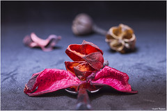 A spoonful of petals. (Vicent Ramiro) Tags: aspoonful macromondays spoon cuchara petalos petals