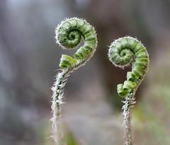 fuzzy ferns are finally opening (marianna armata) Tags: fuzzy fern leaf curl furl macro hmm mariannaarmata plant spring early twins