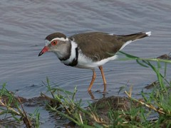 500_4119 (Bird Brian) Tags: threebandedplover