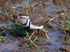 500_4133 (Bird Brian) Tags: threebandedplover
