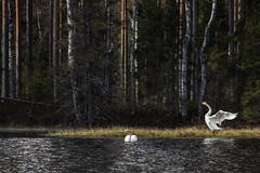 Swans (mabuli90) Tags: swan finland lake forest tree water bird spring grass woods