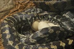 Tapijtpython - Morelia spilota - carpet python (MrTDiddy) Tags: tapijtpython morelia spilota carpet python eggs ei eieren zooantwerpen antwerpzoo antwerpen zoo antwerp