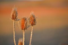 "Cardo ""Baño de Venus"" (Dipsacus fullonum) (Carlos Arriero) Tags: fuencalientedelburgo soria españa europe spain carlosarriero nature naturaleza planta cardo bañodevenus dipsacusfullonum dof bokeh color colour colors nikon d800e 70200mmf28 natgeo sunset atardecer tamron"