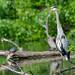 Great Blue Heron in Spring Valley Pond