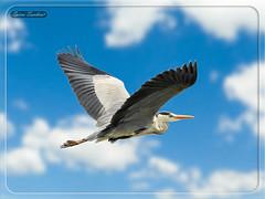 Ερωδιός Σταχτοτσικνιάς !!! (Spiros Tsoukias) Tags: hellas macedonia thessaloniki greece axiosdelta nationalpark flamingo ελλάδα μακεδονία θεσσαλονίκη καλοχώρι γαλλικόσ αξιόσ λουδίασ αλιάκμονασ εθνικόπάρκο δέλτααξιού υδρόβιαπτηνά φλαμίνγκο φοινικόπτερα ερωδιοί αργυροπελεκάνοι αργυροτσικνιάδεσ λευκοτσικνιάδεσ βαρβάρεσ γεράκια πάπιεσ φαλαρίδεσ κύκνοσ κύκνοι πελεκάνοσ κορμοράνοσ στρειδοφαγοσ κοκκινοσκέλησ σταχτοτσικνιάσ ποταμογλάρονα χουλιαρομύτα γλάροσ αβοκέτα καλαμοκανάσ λίμνεσ φύση ποτάμια θάλασσα βουνά πεδιάδεσ ηλιοβασίλεμα ανατολήηλίου πουλιά ζώα lakes nature rivers sea mountains plains sunset sunrise birds animals εχέδωροσ ποταμοί λιμνοθάλασσεσ