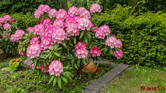 Hortensien (Stefan's Gartenbahn) Tags: garten blumen pflanzen pflanze hortensie hortensien narzisse narzissen blüte blüten blume garden busch