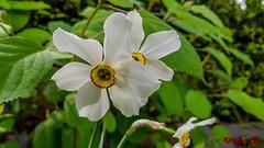 Narzissen (Stefan's Gartenbahn) Tags: garten blumen pflanzen pflanze hortensie hortensien narzisse narzissen blüte blüten blume garden busch