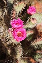 Echinocereus engelmannii (tammoreichgelt) Tags: pink flower hedgehog engelmann cactus cactaceae st george red cliffs