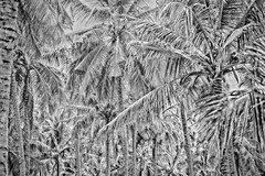 Palm reading (Rajiv Lather) Tags: palms palmtrees palmreading palmistry bw coconuts kerala india photography processing experiment abstract psuedohdr blackandwhite monochrome plantation jungle forest photo pic image digital