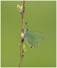 Green Hairstreak (nigel kiteley2011) Tags: greenhairstreak butterfly butterflies macro nature hairstreak insects canon 5dmk3 sigma180mm lepidoptera