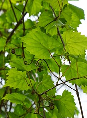 Wild Muscadine Grape Vine With Blossoms (SweetCreek) Tags: grape vine nature flower spring fruit vineyard green healthy leaf outdoor concord outside agriculture foliage grow gardening cultivation budding grapevine grapes blossom vines