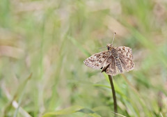 Dingy Skipper - Michael Bird (Just call me Doc) Tags: dingyskipper erynnistages butterfly butterflies small skipper michaelbird twyfordwoods coltersworth lincolnshire canon 6d macro tamron 150600mm g2