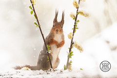 red squirrel standing between two flower willow branches looking at the viewer (Geert Weggen) Tags: animal backlit bright closeup cute humor mammal nature passion red rodent squirrel sun sweden old tree branch walk run spring eastertree flower yellow willow openmouth shout sing song snow winter geert weggen jämtland bispgården ragunda