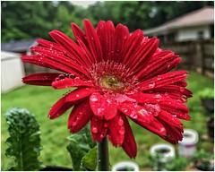 Beautiful Gebera Daisy on a Rainy Georgia Day   (steveartist) Tags: flowers redflowers closeup macro bokeh grass buildings trees sonydscwx220 snapseed stevefrenkel waterdrops water geberadaisy