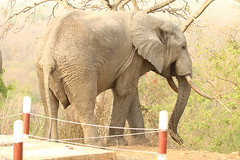 Savanna elephant, Mole Motel, Mole National Park, Ghana (inyathi) Tags: africa westafrica ghana africananimals africanwildlife africanelephants savannaelephant elephants loxodontaafricana safari molenationalpark molemotel nationalparks