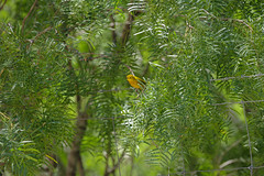 Yellow Warbler (davidhewett1964) Tags: southtexas migratory yellowwarbler hunter predatory yellowbird cotulla texas us