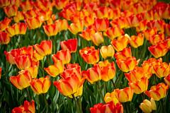 Ottawa Tulips (Claude Tomaro) Tags: may meetup red scavengerhunt tulip yellow