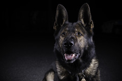 (mspbusy) Tags: germanshepherd gsd policedog dog canine k9 animal mammal proud pant canon7dmarkii studiolights lastolitelumen8 lowkey nighttime dark