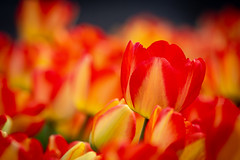 Ottawa Tulip Fastival (Claude Tomaro) Tags: may meetup red scavengerhunt tulip yellow