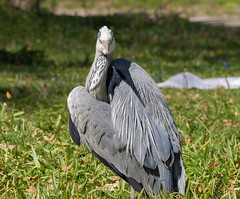 """Glance of death."" If a grey heron looks at you this way, you are pretty much doomed. (Frederik0711) Tags:"