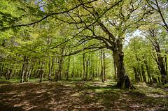 Bosco Mangalaviti (roberto_86) Tags: nebrodi parco mangalaviti bosco sigma 10 20 italia sicilia primavera 2019
