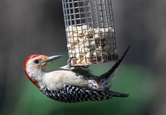 Red-bellied woodpecker (Doug Greenberg) Tags: redbelliedwoodpecker woodpecker