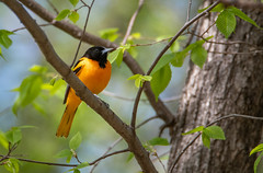 Baltimore Oriole (Mark Polson) Tags: baltimoreoriole bird animal stlouispark mn westwoodhills naturecenter